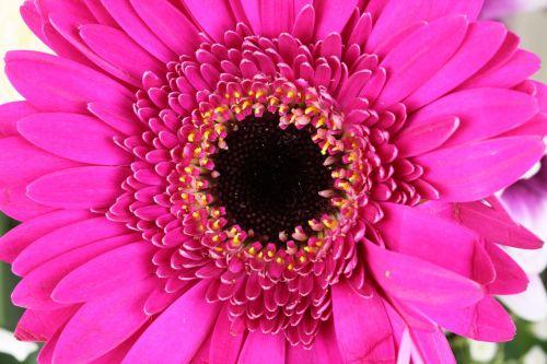 gražus, grožis, žydėti, žiedas, spalvinga, Daisy, apdaila, flora, gėlių, gėlė, šviežias, žiedlapis, rožinis, graži, violetinė, romantiškas, valentine, balta, rožinė gerbera