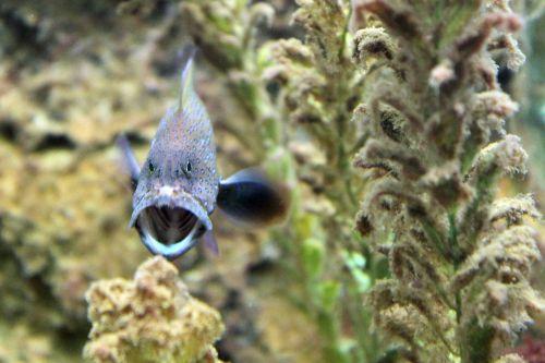 gyvūnas, argus, cefalofolis, koralas, žuvis, gruper, jūrų, jūra, pastebėtas, vanduo, argus grupuotojas