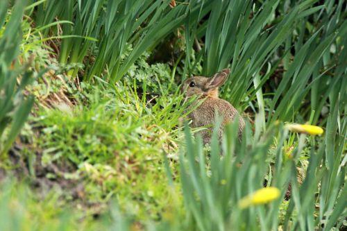 gyvūnas, zuikis, mielas, ausys, Velykos, purus, kailis, žolė, mažai, žinduolis, triušis, graužikas, mažas, pavasaris, mažas, jaunas, mažas zuikis