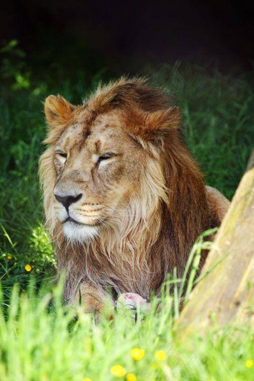 afrika, Afrikos, gyvūnas, mėsėdis, katė, pavojingas, veidas, kačių, kailis, leo, liūtas, melas, Patinas, Žiurkė, plėšrūnas, poilsis, poilsio, safari, laukiniai, vyrukas liūtas