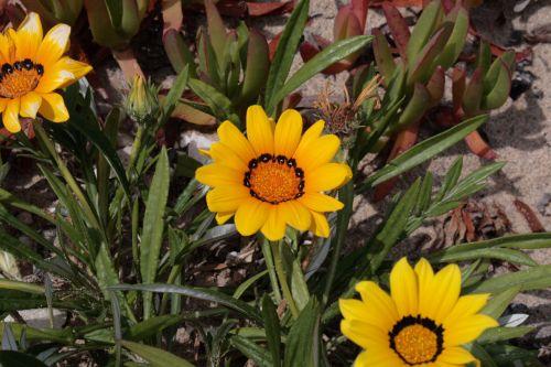 Daisy, aster, asteraceae, žydėti, žiedas, gėlė, gamta, geltona, geltonos african Daisy žydi