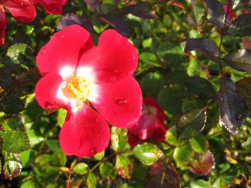 laukiniai, rožė, žydėti, žiedas, gėlė, uždaryti & nbsp, makro, pavasaris, Laukinė rožė