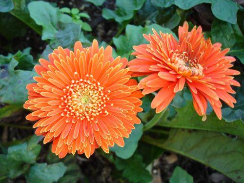 Gerbera, gėlės, spalvinga, iš arti, oranžinė, flora, sodas, augalas, gerbera