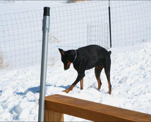 Dobermanas, šuo, šunys, sniegas, galinis kiemas, žaisti, Bartas Dobermanas