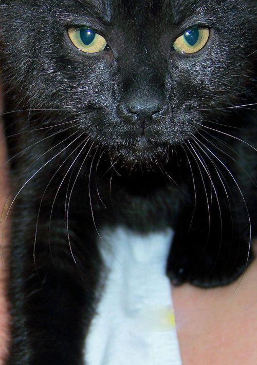 gyvūnai, katė, princesė, juoda, pečių, princesė ant mano peties