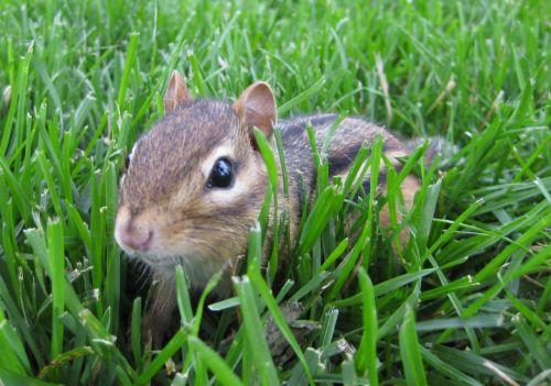 burundukas, gyvūnas, graužikas, gamta, uodega, mažas, augintiniai, mielas, burundukas žolėje