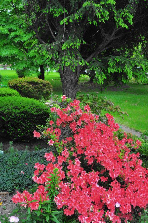 azalijos, žalias, lapija, Tennessee, gėlės, azalijos į tennessee