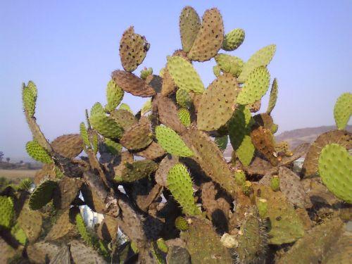 erškėčių, kaktusas, spygliai, žalias, žalumos, dykuma, sausas, kaktusas augalas