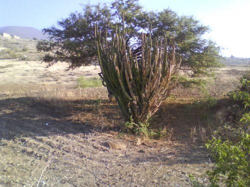 kaktusas, gyvenimas, mirtis, sausra, gyvenimas ir mirtis