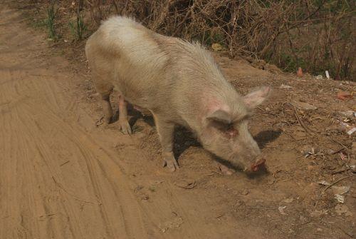kiaulė, sėti, ūkis, gyvūnas, Piggy