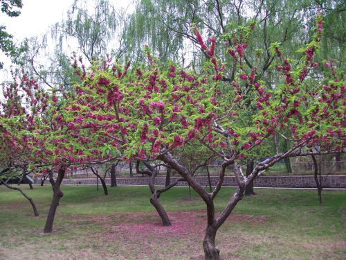 medis, medžiai, gėlė, žydėjimas, žydėti, parkas, žydintys medžiai
