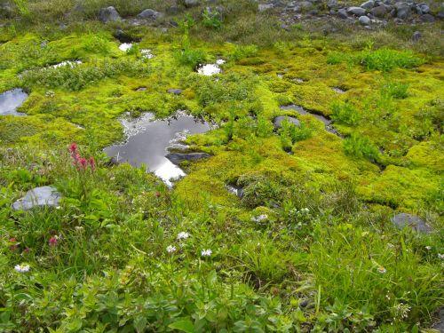 pieva, srautas, rojus, kalnas, rainier, žinomas, vanduo, žalias, labai žalia
