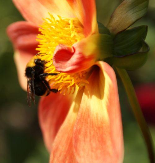 bičių, klaida, vabzdys, gėlė, gamta, žiedadulkės, žiedadulkinimas, medus, bičių