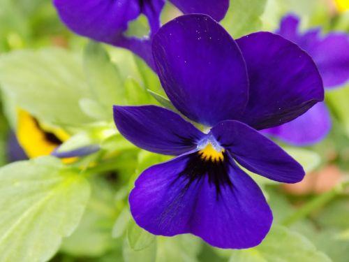400-500,violaceae,violetinė,Pansy