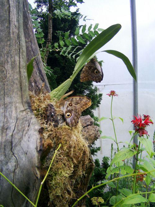 gražus, ruda, drugelis, buveinė, du rudi drugeliai