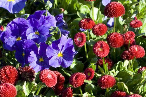 žydėti, žiedas, Daisy, flora, gėlių, gėlė, sodas, žalias, šviesa, gamta, lauke, Pansy, parkas, violetinė, raudona, pavasaris, vaikiškos gėlės
