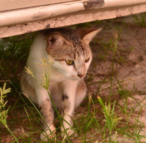 katė,žiūri,mielas,balta,gyvūnas,kailis,žvilgsnis,vidaus,akys,žiūri