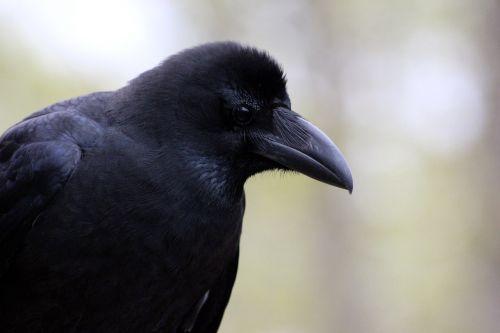 varna,corvus macrorhynchos,paukštis,varna,gyvoji gamta,gyvūnai,gamta,snapas,Iš arti,juoda paukštis,corvids,plunksnos rasės,pilkas fonas,plumėjimas,laukinė gamta,Rusijos gyvūnai