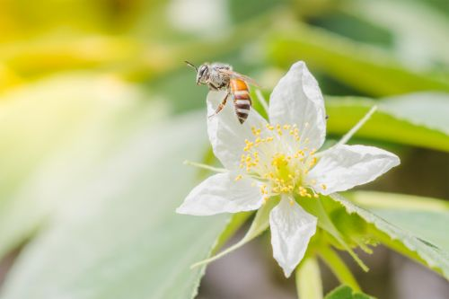 medus, žiedlapis, žiedadulkės, apdulkinimas, medus bitė su gėlėmis