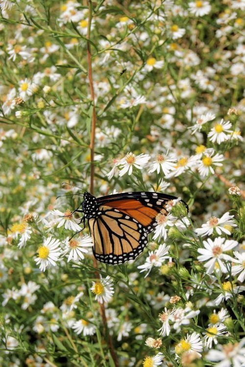 drugelis, monarchas, balta, laukinės vasaros spalvos, tarp piktžolių monarchas