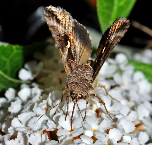 velnias,buddleja,naktis,vabzdžių naktis,maistas,nektaras,geriamasis nektaras,makro,Iš arti