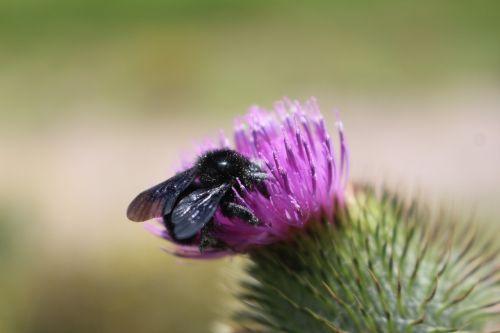 abejo,gėlė,spalvinga,bičių,vabzdys,gėlės,gamta,žiedadulkės,apdulkinimas,laukinė gamta