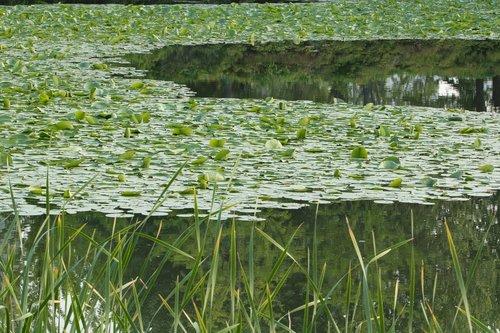 Anotacija, pavasaris, pobūdį, būklė Sąjungoje, lapų, žalias, žalumos, žolė, vėliau, augalai, žalumos, augimas, tvenkinys