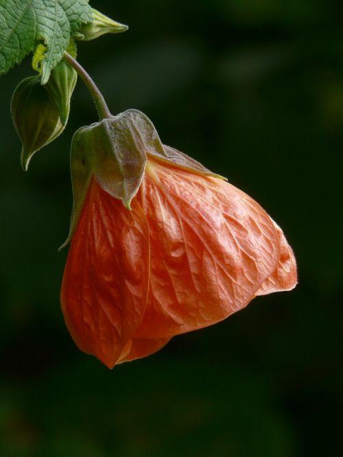 abutilon,žiedas,žydėti,oranžinė,raudona,gėlė,Mallow,malvaceae,dekoratyvinis augalas,priklausyti,lapų pjūvis,lankstinukas nerved,pusbokšlis
