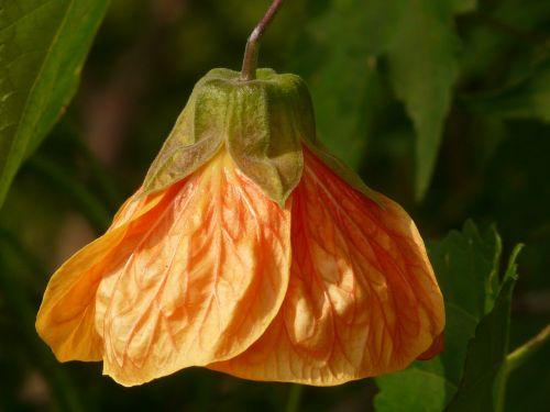 abutilon,dekoratyvinis augalas,Mallow,malvaceae,augalas,gėlė,žiedas,žydėti,vasara,oranžinė,priklausyti,varpas