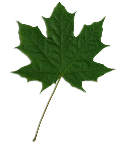 Acer pseudoplatanus,Sycamore,Sycamore klevas,lapai,makro,nuskaityti,modelis,venos,flora,botanika
