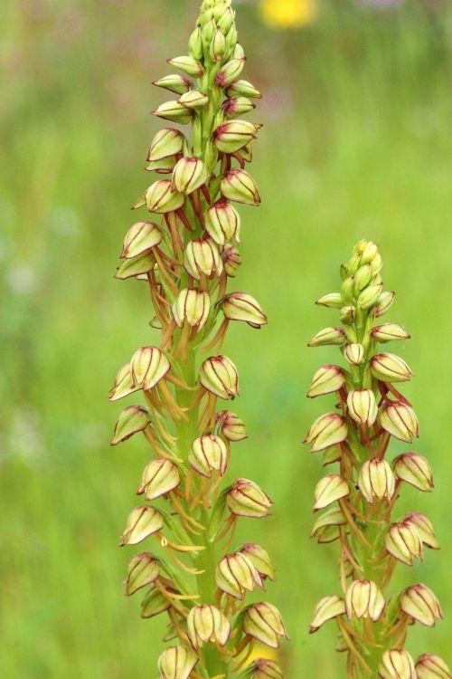 aceras antropophorum,orchidėja,laukas