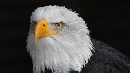 Adler, Iš arti, Deer Park, plikas erelis, galva, Predator, Bill, plunksna, laukinis