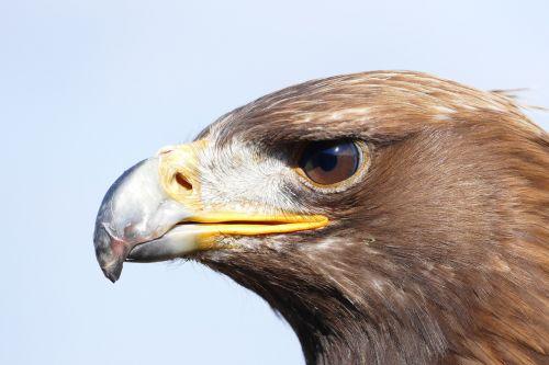 adler,paukštis,plėšrusis paukštis,raptoras,gamta,Uždaryti,laukinis gyvūnas,sąskaitą,laukinis paukštis