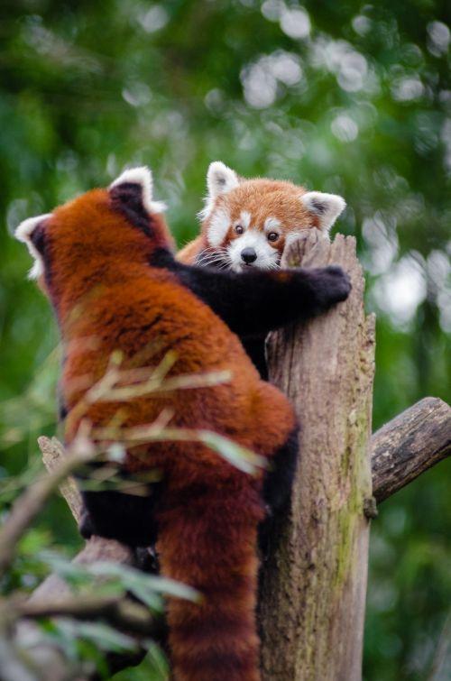 žavinga, mielas, įdomu, mažai, panda, turėti, Cub, kūdikis, meilė, bambukas, gamta, miškas, žavinga pora raudonų pandų