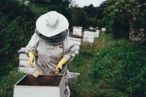 suaugęs,bityna,bičių,bičių ūkis,avilys,bičių vaškas,sodas,derlius,medus,korio rupiniai,dangtelis,lauke,žmonės,apsauginiai įrankiai,vasara,augmenija,darbuotojas