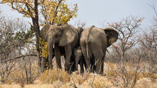 dramblys,kūdikio dramblys,jaunas gyvūnas,afrika,Namibija,gamta,sausas,heiss,Nacionalinis parkas,gyvūnas,african bush dramblys,jaunasis dramblys,žinduolis,dramblys šeima