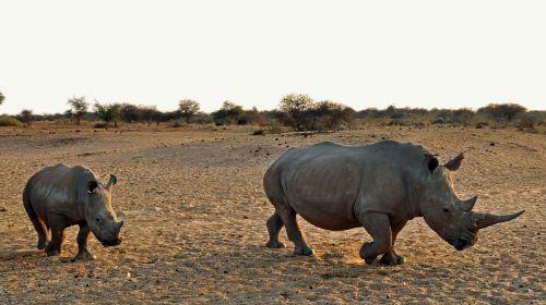 Rhino,Rhino baby,afrika,Namibija,gamta,sausas,Nacionalinis parkas,gyvūnas,pachyderm,didelis žaidimas,žinduolis