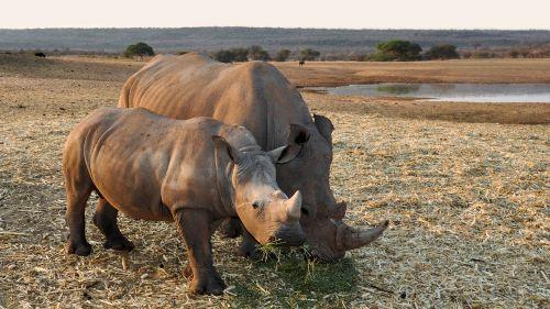 Rhino,afrika,Namibija,gamta,sausas,Nacionalinis parkas,gyvūnas,pachyderm,didelis žaidimas,žinduolis,Rhino baby