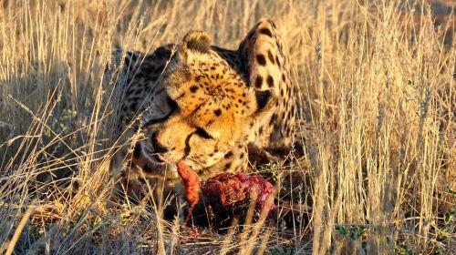Gepardas,afrika,Namibija,gamta,sausas,Nacionalinis parkas,gyvūnas,katė,didelė katė,valgyti