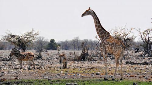 afrika,Namibija,gamta,sausas,Nacionalinis parkas,gyvūnas,laukinis gyvūnas,žirafa,žinduolis,zebra