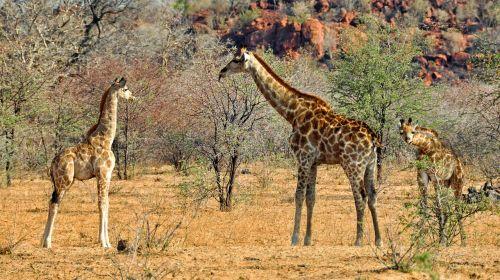 afrika,Namibija,gamta,sausas,Nacionalinis parkas,gyvūnas,laukinis gyvūnas,žirafa,žinduolis,Žirafos šeima,giraffenbaby,jaunas gyvūnas