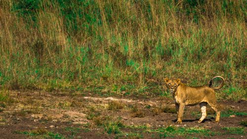 afrika,liūtas,safari,mėsėdis,agresyvus,gyvūnas,mėsėdis,Afrikos