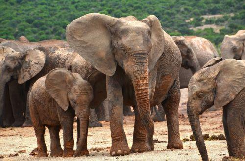 afrika,dramblys šeima,dramblys,african bush dramblys,pachyderm,dramblių banda,kūdikio dramblys