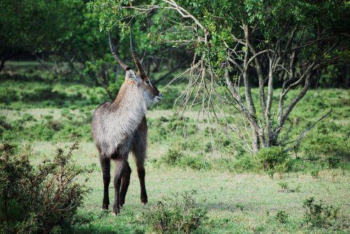 afrika,gyvūnas,antilopė,elnias,aplinka,miškas,kailis,žolė,ragas,žinduolis,gamta,lauke,safari,medžiai,laukiniai,laukinis gyvūnas,laukinis gyvenimas,laukinė gamta
