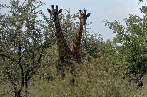 afrika,kruger,žirafa