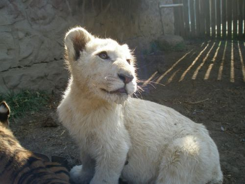afrika,leo,šuniukas