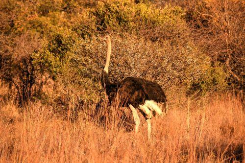 africa sun,strutis,safari,žaidimų ūkis