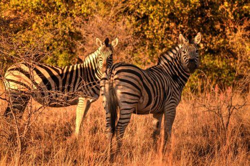 africa sun,zebras,safari,laukinis gyvenimas