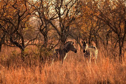 africa sun,laukinis gyvenimas,zebras,safari,žaidimų ūkis