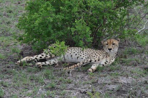 afrikiečių gepardas,Gepardas,laukinė gamta